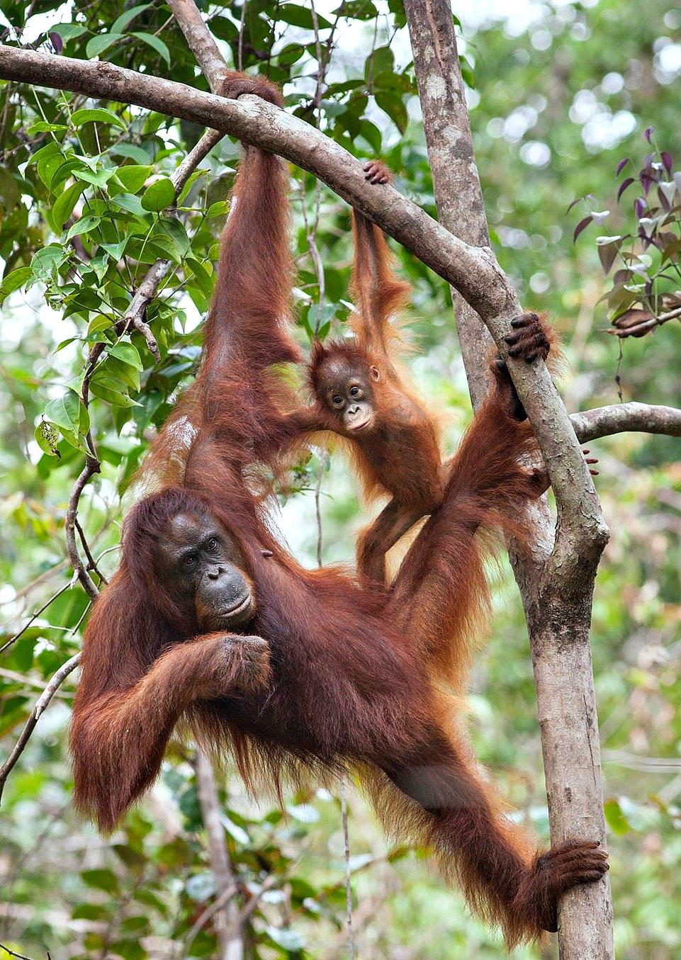 Orangutanes en Zoológico Guadalajara